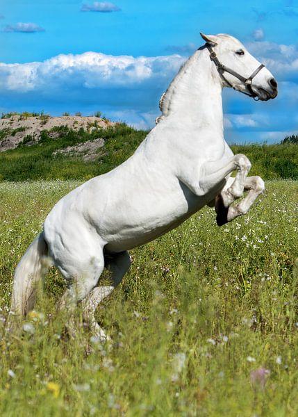 Andalusisch paard (PRE) steigerend van Cristel Brouwer
