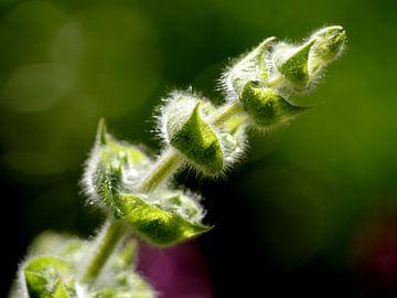 flower buds sage van erik boer