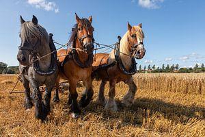Demonstratie tarwe oogsten met driespan trekpaarden. van