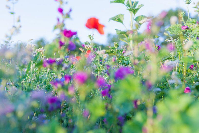 Wilde Sommerblumen 07 von FotoDennis.com