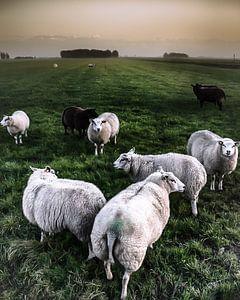 Quite Sheepish van