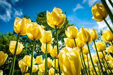 Gele Tulpen von