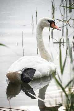 Zwaan in een meer van Kashja Neels
