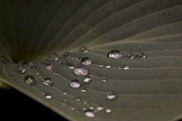 Hosta met regendruppeltjes von foto-fantasie foto-fantasie