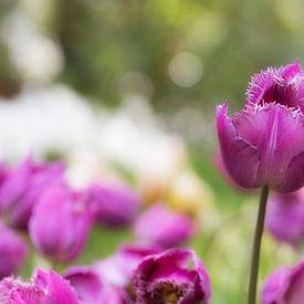 Purple Tulip van Michael van der Burg