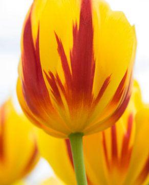 Hollandse tulpen von Wendy Drent