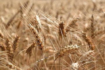 Getreidehalme auf einem Feld in der Normandie, Frankreich von Christa Stroo fotografie