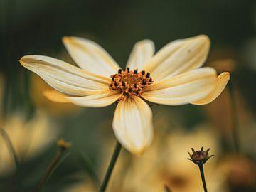 Gelbe Blume von José Lugtenberg