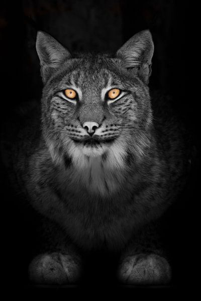 Lynx in de nacht volledig gezicht kijken rustige kat met oranje ogen en een verkleurd zwart-wit lich van Michael Semenov