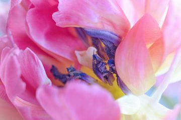 Tulpe rosa und lila von Kim Hiddink