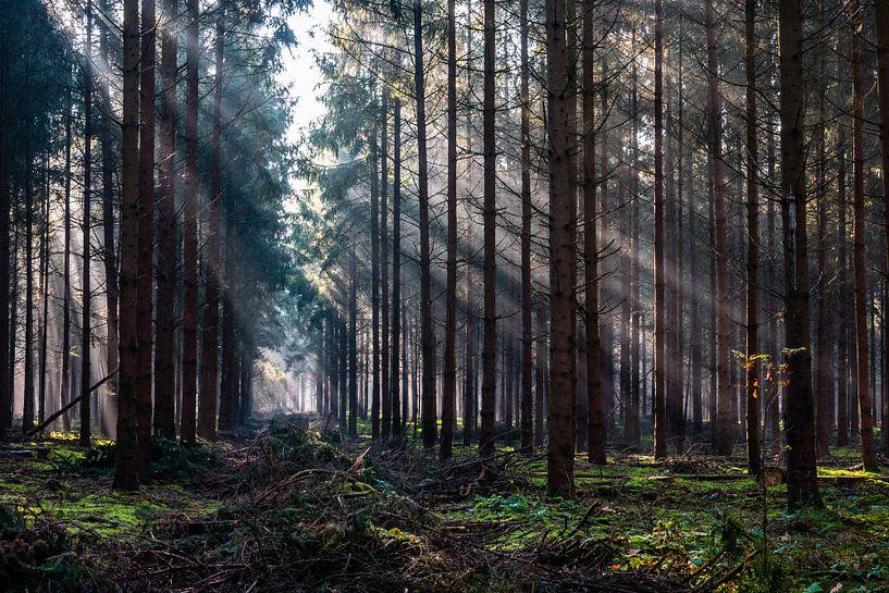 Forest Beams van William Mevissen