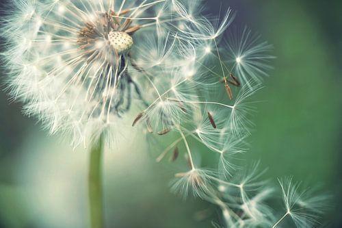 Pusteblume mit fliegenden Schirmchen van