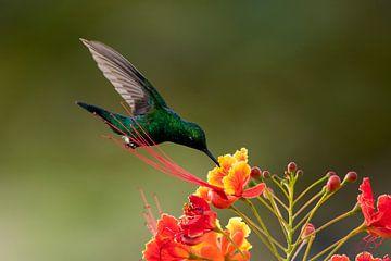 Grüner Kolibri von Henk Zielstra