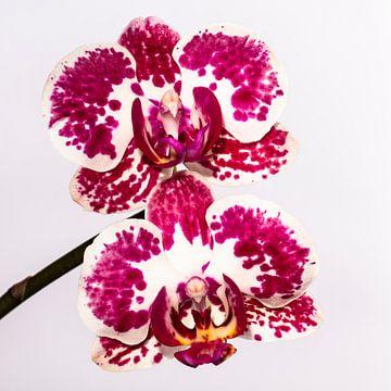 Tweelingen orchidee van Nancy Bogaert