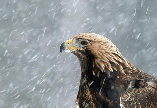 Steenarend, Golden Eagle, Aquila chrysaetos van AGAMI Photo Agency