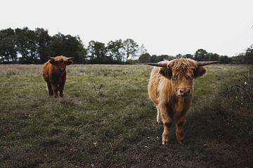 Schotse Hooglanders van Rob Veldman