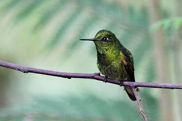 Kolibrie sur Antwan Janssen