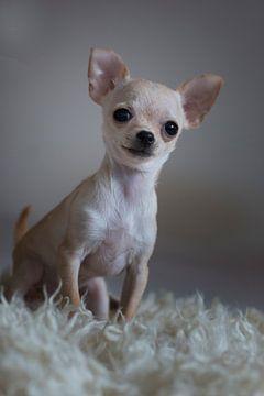 chihuahua van