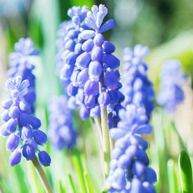Blauwe druifjes van Tashina van Zwam