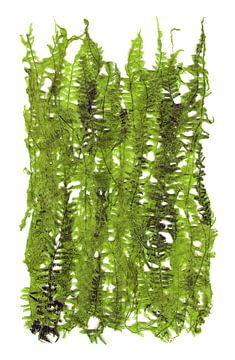 Groene plant bladeren van Eva van den Hamsvoort