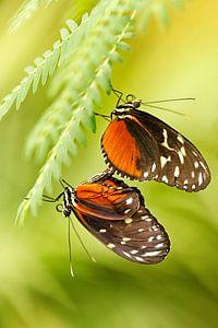 Tropische vlinders van