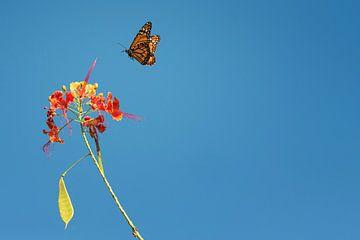 Monarchvlinder von Leon Doorn