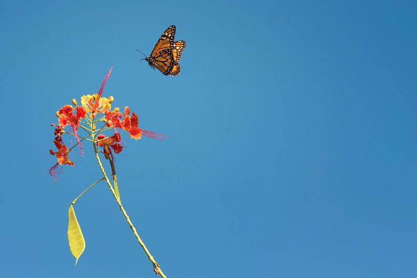 Monarchvlinder van Leon Doorn