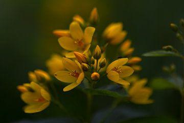 Großer Wederik (Lysimachia vulgaris) von Eric Wander