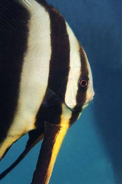 Batfish crey van Anouk Kanner