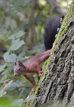 eekhoorn kijkt om de hoek van een boomstam van Petra De Jonge