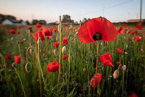 Poppies in Mechelen van Jim De Sitter