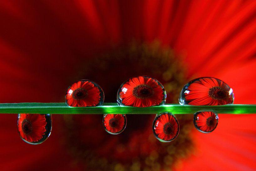 Rode gerbera in waterdruppels van Inge van den Brande