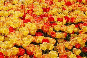 Mer florale de jaune &amp ; tulipes rouges, à Istanbul, Turquie.