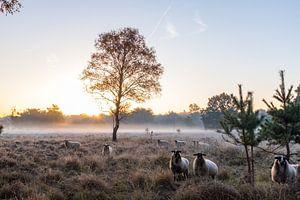 schapen in de mist van