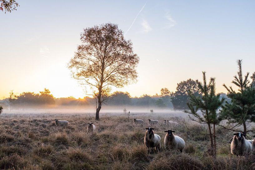 schapen in de mist van Rick Crauwels
