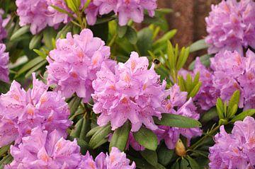 Ein Blühender Rhododendron mit einer Hummel von Philipp Klassen