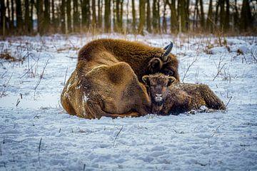 Wisent mit Kalb im Schnee von Erwin Floor
