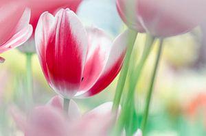 Rood/Witte Tulp van Jeffry J.J van Berkum