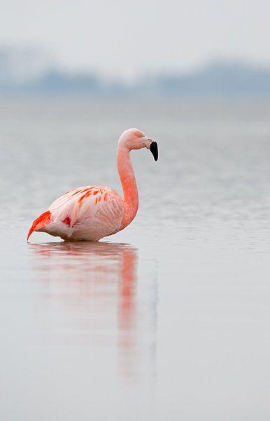 Flamingo in Nederlands water van Menno Schaefer