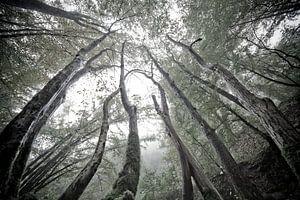 MYSTIEKE BOMEN - MYSTIC TREES van