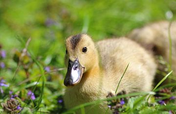 Kleine Ente von Anja van Zijl