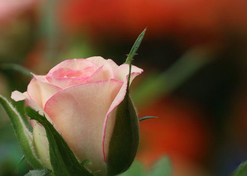 Rose von Klaus-Dieter Schulze
