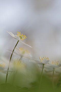 Bosanemoon in bos von Ingrid Van Damme fotografie