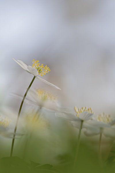 Bosanemoon in bos von Vandain Fotografie