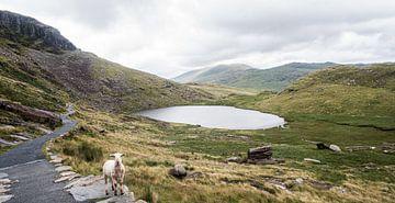 Het groene landschap van Snowdonia met een schaap, fotoprint van Manja Herrebrugh - Outdoor by Manja