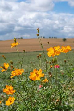 Goldgelbe Kosmen auf einem Feld im Loiretal, Frankreich. von Christa Stroo fotografie