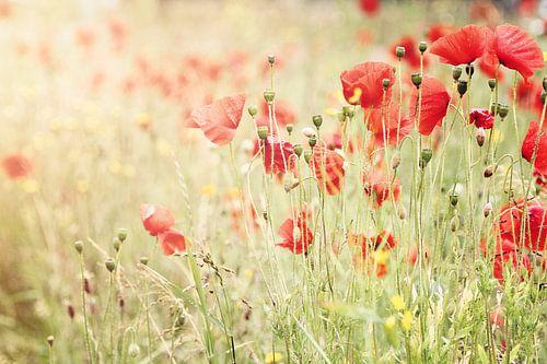 Poppies I van