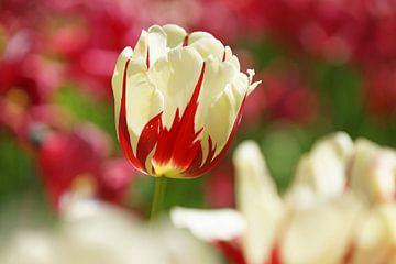 Tulp van Peet Romijn