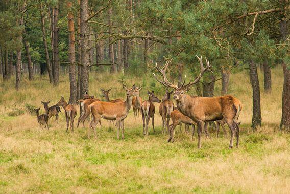 Kudde edelherten in het bos