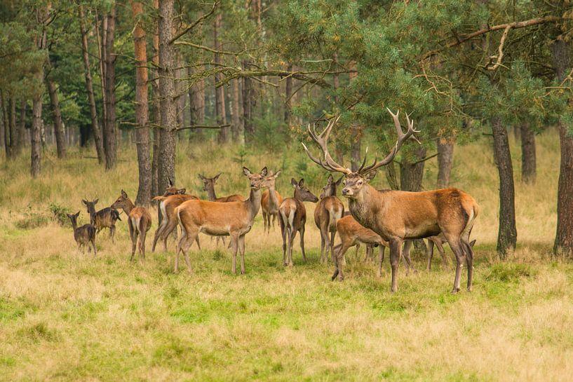 Kudde edelherten in het bos van Elles Rijsdijk